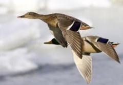 les canard.jpg